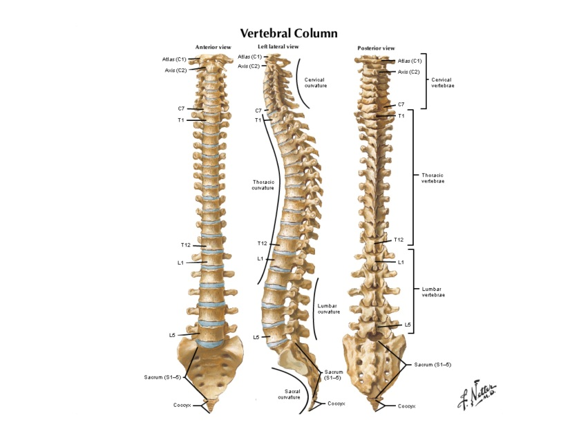 A diagram of the spine - our daughter will most likely be fused between the C7 through L1